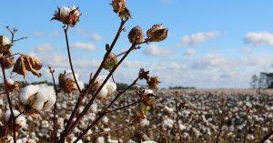 Aké sú rozdiely medzi klasickou bavlnou a bio bavlnou?